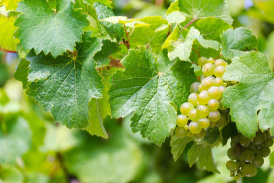 Thy Hands From Egypt Brought a Goodly Vine